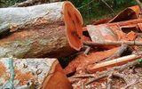 Phát hiện lâm tặc phá rừng với quy mô lớn tại vườn quốc gia Yok Đôn