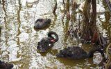 Hà Nội: Thả 12 con thiên nga xuống Hồ Gươm