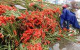Hà Nội: Thương lái ngậm ngùi đổ cả nghìn bó hoa lay ơn chiều mùng 7 Tết