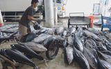 Đầu năm ngư dân Khánh Hoà trúng đậm cá ngừ đại dương