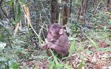 Hai cá thể khỉ mặt đỏ bị bẫy bắt đã được thả về tự nhiên