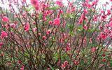 Những loại hoa mùa xuân có thể dùng làm thuốc