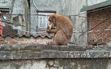 """Khỉ hoang bắt gà, ăn trộm trứng, """"đại náo"""" khu dân cư ở Hà Nội"""