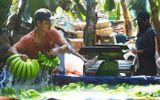 Thương lái Trung Quốc về tận vườn mua chuối, trả giá cao gấp chục lần năm ngoái
