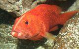 Những loại cá cảnh đắt nhất thế giới, giá cả trăm triệu đồng/con