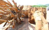 """Kiểm lâm Thừa Thiên- Huế xác minh nguồn gốc 3 cây cổ thụ """"siêu khủng"""""""