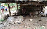 Nghệ An: Sét đánh chết 4 con trâu của một gia đình