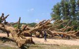 """Vụ cây """"quái thú"""": Kiểm tra trách nhiệm phó chủ tịch xã ký bừa"""