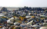 Hà Tĩnh: Hơn chục tấn ngao chết trắng đầm, nông dân thiệt hại cả trăm triệu đồng