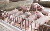 Giá lợn hơi bật tăng trở lại, lên tới 42.000 đồng/kg
