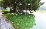 """Nguyên nhân mặt nước Hồ Gươm chuyển màu xanh """"lạ"""""""