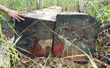 Video: Cận cảnh bãi tập kết toàn gỗ khủng của lâm tặc khét tiếng ở Gia Lai