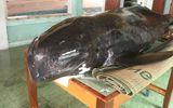 Cá voi nặng 300 kg trôi dạt vào bờ biển Quảng Ngãi