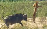 """Video trâu rừng tung cú húc """"sấm sét"""" hất bay sư tử"""
