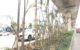 Vì sao nhiều cây cau bụi dưới gầm đường sắt Cát Linh chết, lụi?