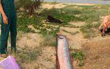 """Cá hố rồng """"khủng"""" liên tục chết dạt vào bờ biển"""