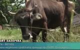 """Video: Chân dung cô bò mang thai lĩnh án tử hình do """"vượt biên trái phép"""" khỏi lãnh thổ EU"""