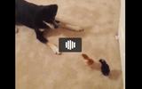 Video: Siêu hài hước với chú chó chân ngắn