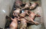 Hà Tĩnh: 13 con lợn bị kẻ xấu đâm chết giữa đêm