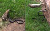 Video: Thỏ mẹ điên cuồng trả thù rắn hổ mang giết con
