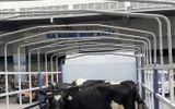 Kinh doanh - Vinamilk nhập lô bò A2 thuần chủng đầu tiên từ New Zealand
