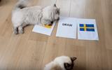 """Tin tức - Video: """"Cặp đôi tiên tri"""" mèo dự đoán đội tuyển Đức thắng Thụy Điển"""