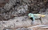 Video: Thằn lằn Agama nuốt chửng con mồi