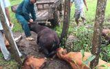 5 con bò bị sét đánh chết cùng lúc trên cánh đồng