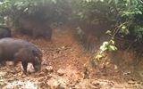 Video cực hiếm về loài lợn có trọng lượng lớn nhất thế giới