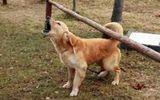 Cà Mau: Đàn chó dại tấn công nhiều người