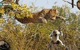 """Video: Hổ nhận """"trái đắng"""" khi leo cây cao săn khỉ"""