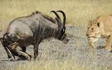 Video: Trận hỗn chiến kinh hoàng giữa linh dương và 2 con sư tử cái