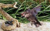 Video: Chim mẹ điên cuồng tấn công rắn kịch độc để cứu con