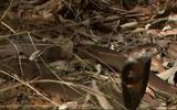 """Video: Rắn hổ mang bị đàn cầy mangut """"làm thịt"""""""