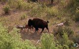 Tin tức - Video: Bò rừng mẹ đơn độc chiến đấu với cả bầy sói dữ để cứu con