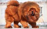 Tin tức - Tin tức thời sự 24h mới nhất ngày 20/7/2018: Chó ngao Tây Tạng 40kg cắn chết bé gái 8 tháng tuổi