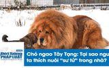 """Tin tức - Chó ngao Tây Tạng cắn chết bé gái: Tại sao nhiều người thích nuôi """"sư tử"""" trong nhà?"""