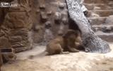 Video: Sư tử đực hạ sát sư tử cái cùng chuồng trước mặt du khách