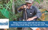Tin tức - Rùng mình trước nghề bắt rắn hổ mang hành bằng chuột đồng của nông dân miền Tây