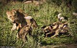 Video: Bầy chó hoang đại chiến quyết liệt với linh dương đầu bò