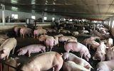 Giá lợn hơi hôm nay 8/8: Thị trường miền Bắc dao động quanh mức 53.000 đồng/kg