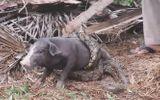 """Video: """"Nghẹt thở"""" màn giải cứu lợn bị trăn khổng lồ siết chặt"""