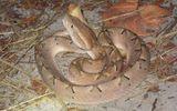 Đuổi theo bắt ếch, bé 7 tuổi bị rắn độc cắn không cầm được máu