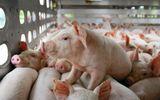 Giá lợn hơi hôm nay 13/8: Mức cao nhất 55.000 đồng/kg