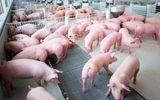 Tin tức - Giá lợn hơi hôm nay 16/8: Miền Bắc phổ biến trên 50.000 đồng/kg