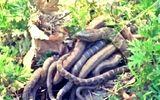 Tin tức - Video: Rùng mình chứng kiến rắn mẹ đẻ liền lúc 57 con