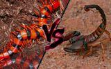 Tin tức - Cuộc chiến sinh tồn: Bọ cạp đen quyết đấu rết khổng lồ