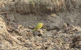 Tin tức - Video: Rắn độc chết thảm dưới cú mổ của chim bách thanh
