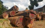Vụ Hạt trưởng kiểm lâm bị bắt: Gia đình Chi cục trưởng Kiểm lâm giao nộp 8m3 gỗ