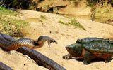 Cuộc chiến sinh tồn: Coi thường rùa chậm chạp, rắn độc phải trả giá đắt